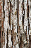 Ancient pine texture Royalty Free Stock Images