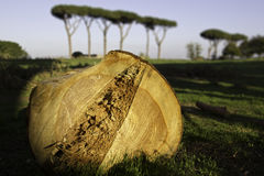 Ancient pine tree cut down in the Aqueducts Park. Royalty Free Stock Photos