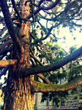 Ancient pine tree. A magnificent old pine tree guards a bluestone church royalty free stock photography