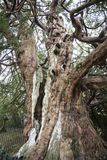 The 1066 Yew, Crowhurst Church, north-west of Hastings, East Sussex, England - home to some ancient yew, holly and oak trees. This ancient place, mentioned in stock photo