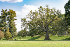 Ancient plane tree Royalty Free Stock Photography