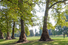 Ancient plane trees Royalty Free Stock Image