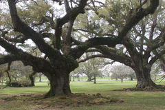 Ancient Plantation Oaks Stock Photography