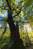 Ancient pollard Oak at Schwanheim forest Royalty Free Stock Image