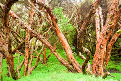 Ancient Polylepis Forest Or Paper Tree Royalty Free Stock Photography