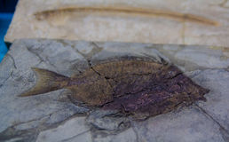 Ancient pre historic fish fossil in a rock formation Royalty Free Stock Images