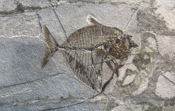 Ancient pre historic fish fossil in a rock formation Stock Images
