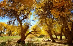Ancient and precious trees - Populus euphratica Stock Photo