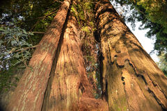 California Redwoods. Ancient preserved redwood trees on Avenue of the Giants, State Route 254, Northern California Stock Images