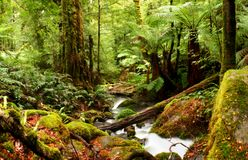 Ancient Rainforest. A creek flows softly through ancient temperate rainforest, with moss-covered boulders, treeferns, and myrtle beech trees. Victoria, Australia royalty free stock photography