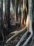 Ancient rainforest tree Royalty Free Stock Photo