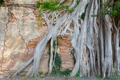 Ancient temple in Thailand. Ancient red brick wall, part of buddhist temple ruined with growing banyan tree roots in Thailand Stock Photography