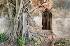 Ancient temple in Thailand. Ancient red brick wall, part of buddhist temple ruined with growing banyan tree roots in Thailand Stock Photos