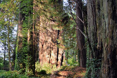 Ancient Redwoods, California. Light highlights huge redwood tree on Avenue of the Giants, State Route 254, California Stock Photo