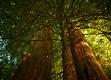 Ancient redwood trees Stock Photography