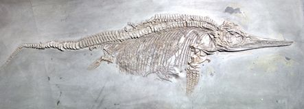 Ancient reptile fossil. On grey stone background royalty free stock photo