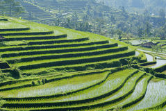 Ancient rice terraces at bali Stock Photography