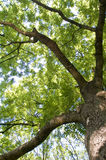 Ancient Robinia. Detail of a green robinia tree Stock Images