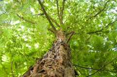 Ancient Robinia. Detail of a green robinia tree Royalty Free Stock Images
