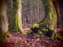 Ancient and romantic forrest in the Eifel, western Germany 8 stock photos