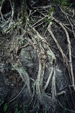 Ancient root Royalty Free Stock Photo