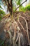 Ancient root Stock Images