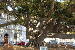 Ancient Rubber Tree at Cadiz seafornt. Stock Photo
