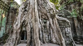 Ancient ruins and tree roots, Ta Prohm temple Royalty Free Stock Photo