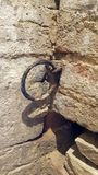 Ancient rusty wall ring. Mounted inside a medieval italian castle in the center of italy royalty free stock photography