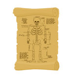 Ancient scroll of skeleton. Archaic papyrus of anatomical Struct Stock Photo
