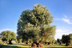 Ancient secular olive tree in the countryside of Apulia, Italy Stock Image