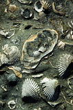Ancient Shells. A black beach rock full of fossilized seashells stock images