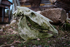 Ancient skull of a bull lying on the ground. Royalty Free Stock Photography