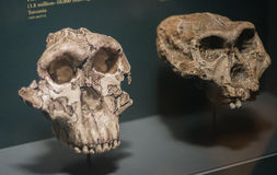 Ancient skull. In a Chicago Field Museum stock images