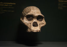 Ancient skull. In a Chicago Field Museum royalty free stock photos