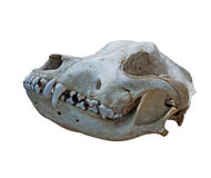 The  Ancient skull dog on a white background Stock Photography