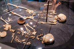 Free Ancient Skulls Showing Human Evolution In Archeology Museum Royalty Free Stock Photo - 173245275
