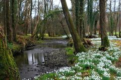 Ancient Snowdrop Forest. Of oak trees, with a winding a stream, in early Spring royalty free stock photo