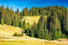 Ancient spruce forest on the hill. Beautiful scene of Apuseni Natural Park in Romania Stock Photos