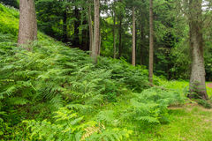Ancient spruce trees standing proud. Beautiful spruce trees with gorgeous ferns around the trunks in Abbots Leigh woods in Bristol ,England Royalty Free Stock Photo