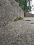 A small grass grows in the ancient stone steps royalty free stock images
