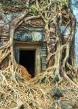 Ancient temple Koh Ke, Cambodia. Banyan tree roots in ruin Ancient temple Koh Ker in Siem Reap, Cambodia Stock Images