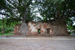 Ancient temple was covered with Bodhi tree Stock Images