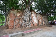 Ancient temple was covered with Bodhi tree Stock Photos
