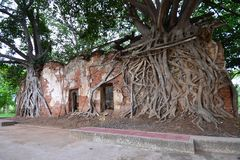 Ancient temple was covered with Bodhi tree Royalty Free Stock Photo