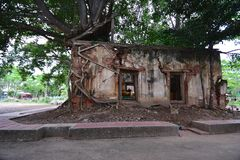 Ancient temple was covered with Bodhi tree Royalty Free Stock Images