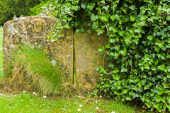 Ancient tombstones. Ancient blank tombstones with ivy Royalty Free Stock Photos