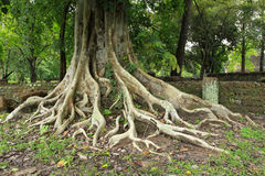 Ancient tree Royalty Free Stock Photography