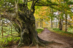 Ancient tree in autumn Royalty Free Stock Photo