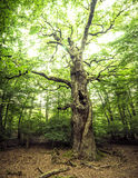 Ancient Tree Royalty Free Stock Images